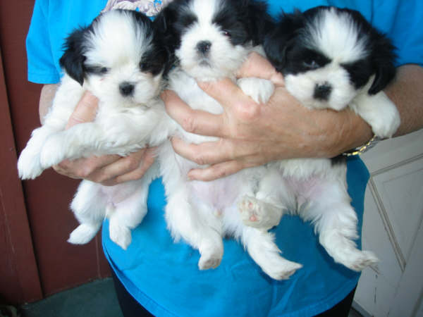 Black & White Parti Pups